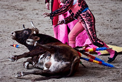 animal sports, cattle-like mammal, bull, tradition, sports, entertainment, matador, performance, bullfighting,