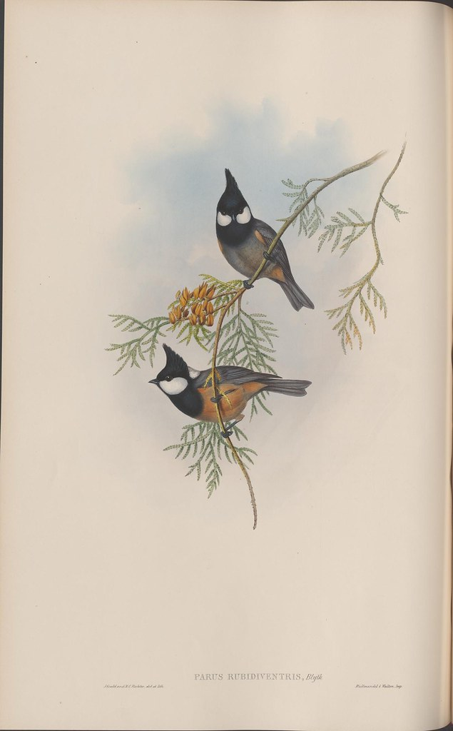 litho of 2 small brown black white birds on pine tree branch