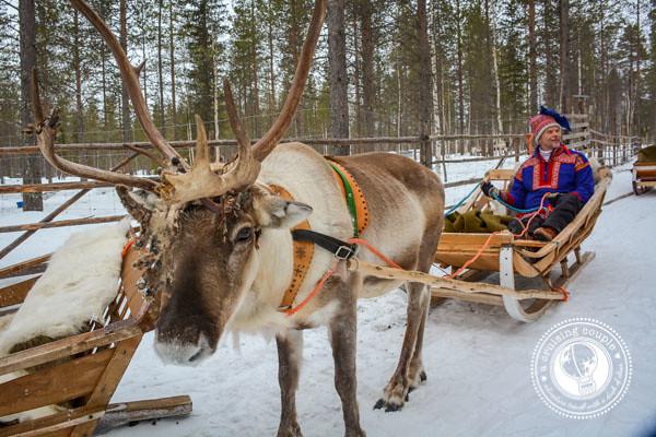 The Culture of Sami Reindeer Herding   Finnish Lapland Traditional Finnish Sami Reindeer Sleigh