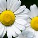 French Daisy by a.sekkas