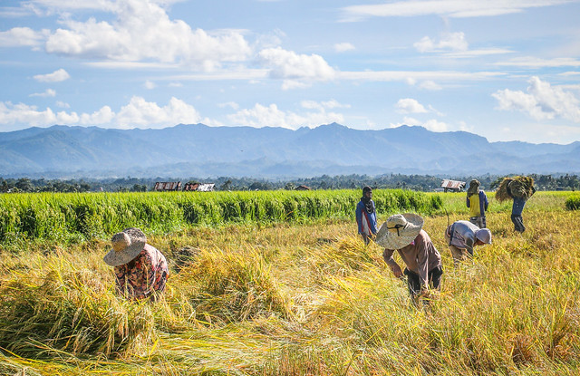 Dipolog Farmers Harvesting Rice. Photo by Noel Angelo Arboleda