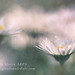 Daisy Dew by Sylvia Slavin ARPS (woodelf)