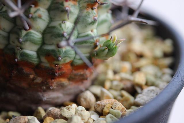 ¥Euphorbia stellispina f. variegata