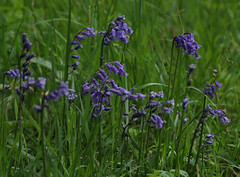 Bluebells Brampton Wood 160515 3962