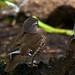 Mandarin Duck (female)