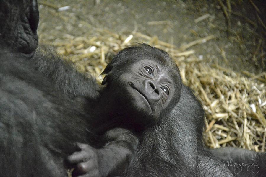 2012-02-27 - Baby gorilla