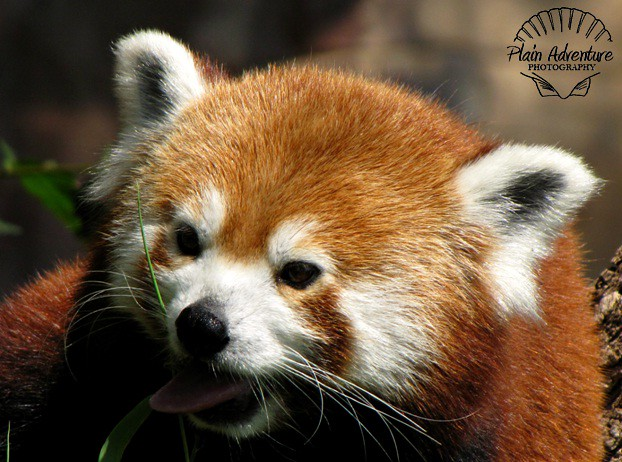 Wildlife Photography Number 3 – Red Panda