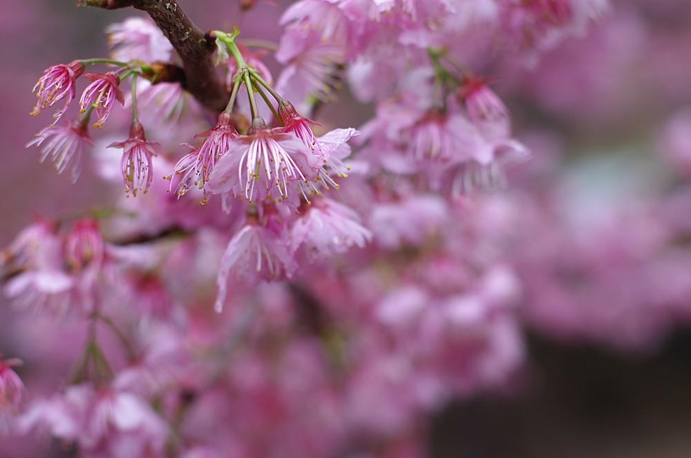 武陵雨中の櫻~