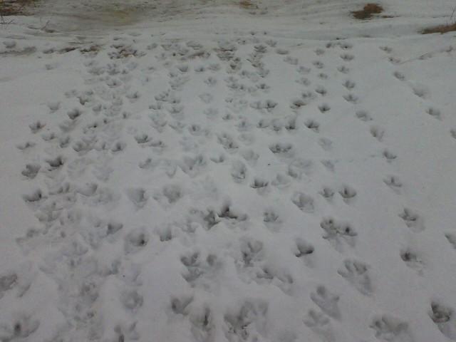 Turkey tracks in snow