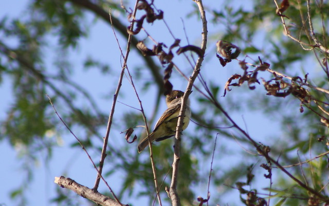 Nutting's Flycatcher 3-2-2012