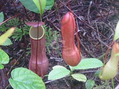 vegetable(0.0), arum(0.0), produce(0.0), food(0.0), gourd(0.0), pitcher plant(1.0), flower(1.0), plant(1.0),