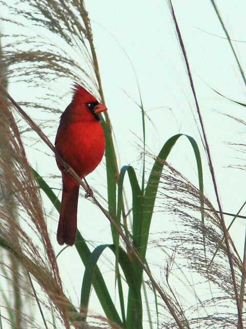 Northern Cardinal 20120306