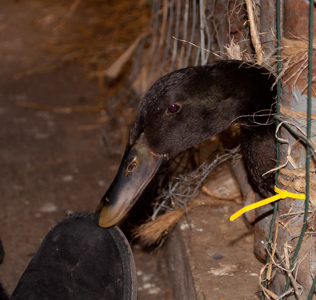 Duck black