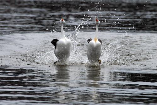 [フリー画像素材] 動物 2, 鳥類, クビナガカイツブリ, 動物 - カップル ID:201202161800