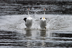 [Free Images] Animals 2, Birds, Clark's Grebe, Animals - Couple ID:201202161800