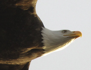 Eye of the Eagle in Mid-Flight