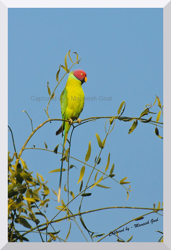 Plum Headed Parakeet, Male