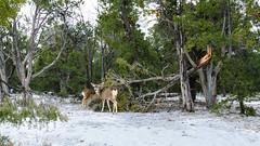 Mule Deer - Grand Canyon, Arizona