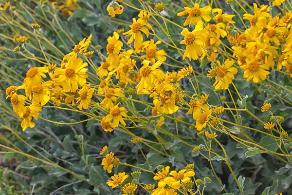 Desert Marigold II