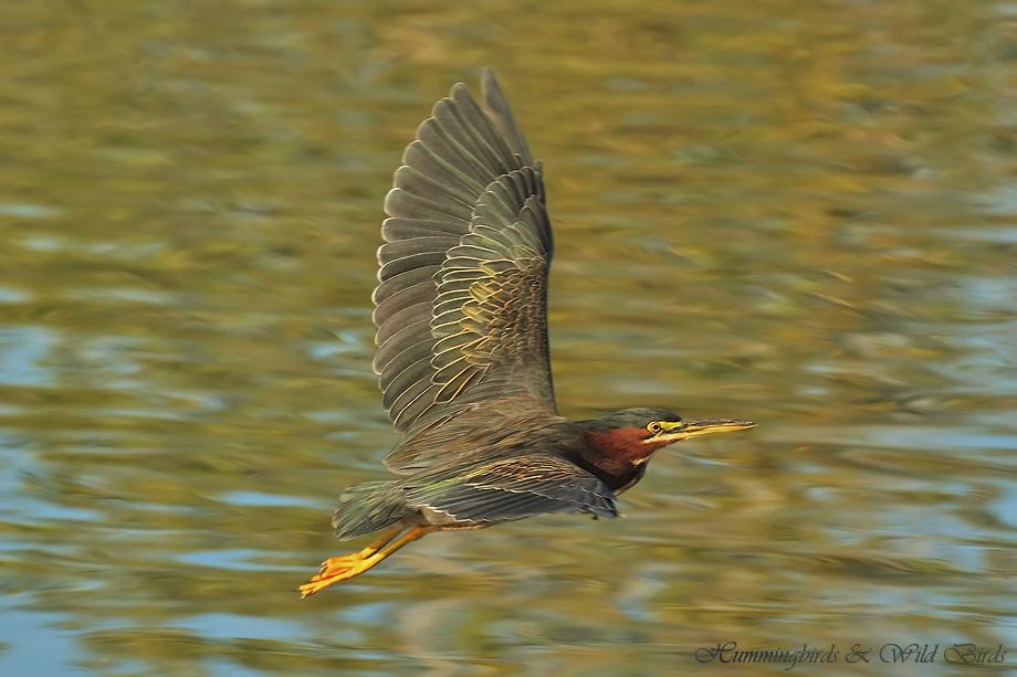 Green Heron 022412