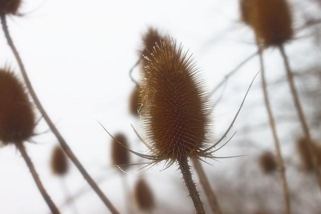 Cardère à foulon - Dipsacus fullonum