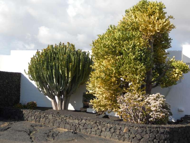 Suculentas tipicas Lanzarote