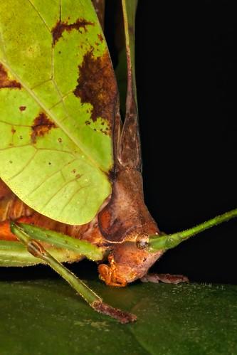 Pterochroza sp. Peacock Katydid