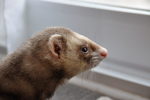 Horatio looking out the window: 52 weeks of ferrets (9/52)