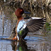 Cinnamon Teal by Fred Hochstaedter