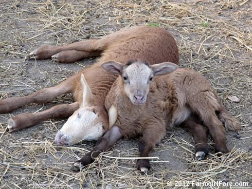 Random lamb snaps 3 - FarmgirlFare.com