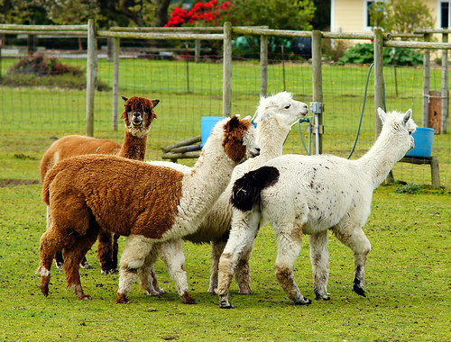 March of the Alpacas