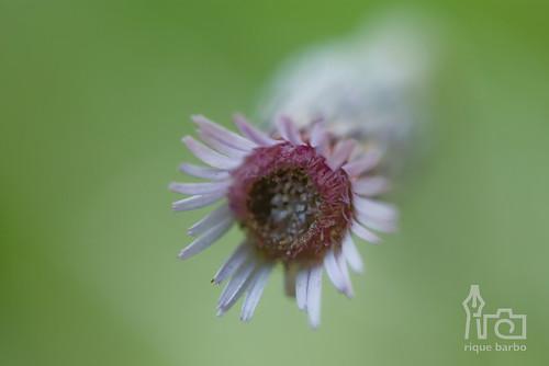 Mini-flor by Henrique Barbosa - Rique Barbo