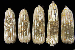 Thu, 06/21/2007 - 11:38 - White maize cobs with different severities of Aspergillus colonization. Photo by IITA. (file name: MA_PD_011).