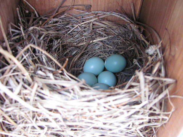 Bluebirds make blue eggs 2