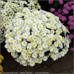 Chrysanthemum 'Abajo White' - Chryzantema 'Abajo White'