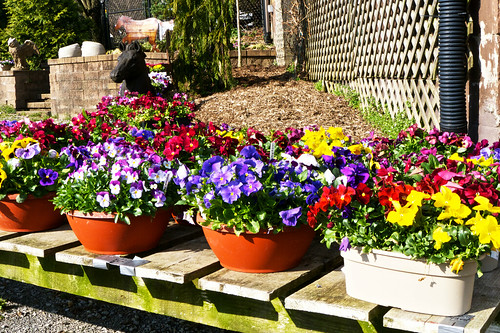 Planters full of pansies