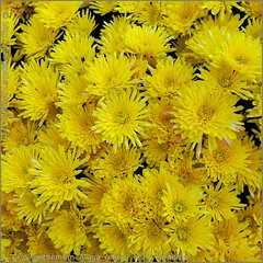 Chrysanthemum 'Aluga Yellow' - Chryzantema
