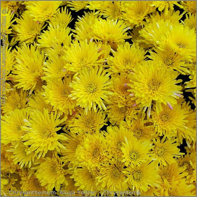 Chrysanthemum 'Aluga Yellow' - Chryzantema