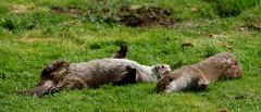 wild boar(0.0), pig(0.0), pig-like mammal(0.0), animal(1.0), grass(1.0), mammal(1.0), fauna(1.0), marmot(1.0), wildlife(1.0),