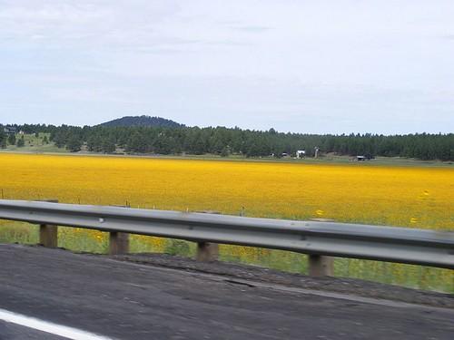 Mustard Blooms1