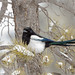 Black-billed Magpie by Raymond Lee Photography