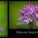 **orchis tridentata** by coach48