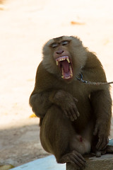 animal, baboon, monkey, mammal, fauna, close-up, old world monkey, macaque, yawn,