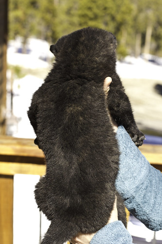 Nami-Litter1-Day54-Puppy1-Female(Kiyomi)-2