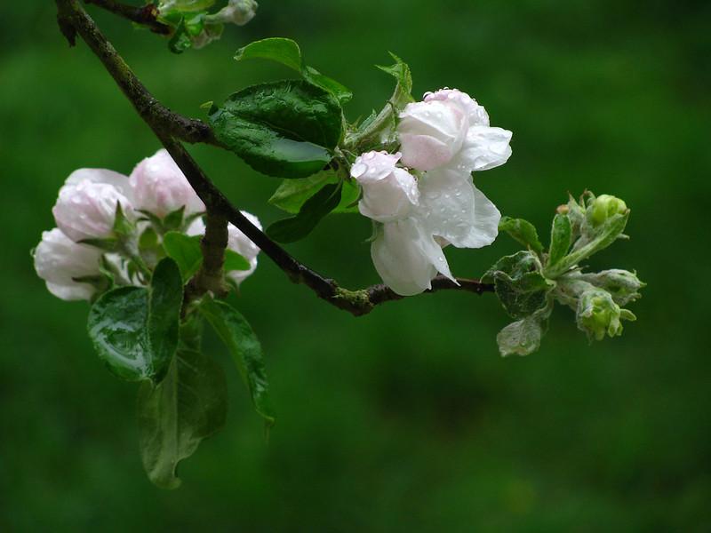 Gravenstein Apple Blossoms Dripping