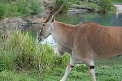 animal, antelope, zoo, mammal, common eland, fauna, wildlife,