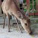 Deer in a spiritual town / 宮島の鹿