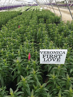 Veronica 'First Love' #2 | by Johnson Farms