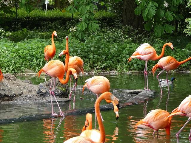 Flamingos, Zoo Heidelberg