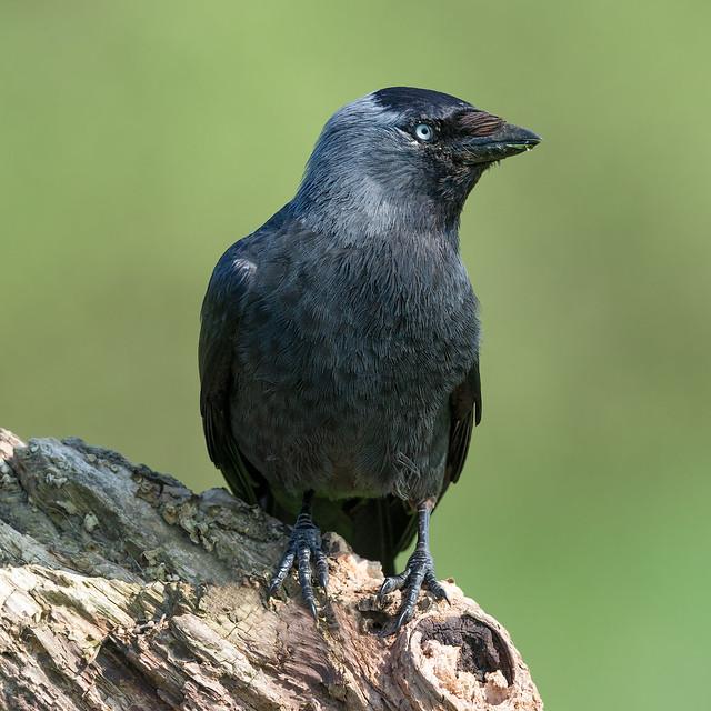 Western Jackdaw - Corvus monendula